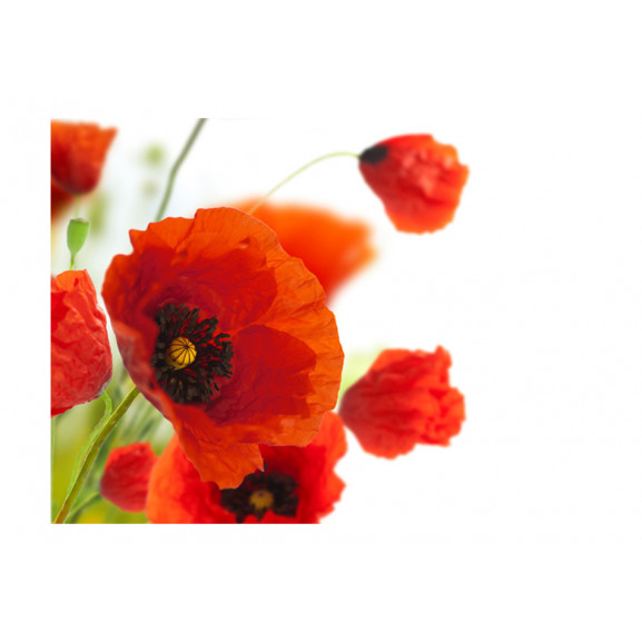 Fototapet Poppies On The Wihite Background 200 cm x 154 cm naturlich.ro